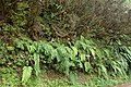 Woodwardia radicans kz01.jpg