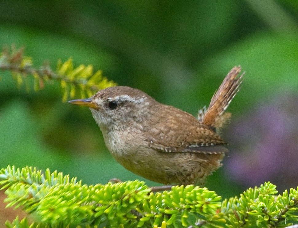 Gærdesmutten, Danmarks næstmindste fugl, har ligesom mange andre spurvefugle en veludviklet sang. Her en fugl fra England.