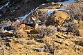 Wyoming Mule Deer Buck (23708577156).jpg