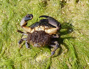 Crab - Female crab Xantho poressa at spawning time in the Black Sea, carrying eggs under her abdomen
