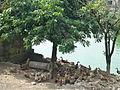 Yancuo - duck pond - P1260570.JPG