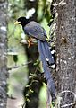 Yellow-billed Blue Magpie Urocissa flavirostris by Dr Raju Kasambe (5).jpg