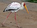 Yellow-billed Stork (Mycteria ibis) (6045310265).jpg