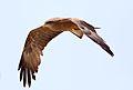 Yellow-billed kite, Milvus aegyptius, at Elephant Sands Lodge, Botswana (32210167916).jpg