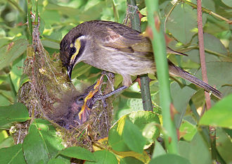Hatchling - Yellow-faced honeyeater chicks