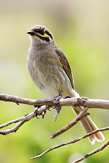 Yellow-faced honeyeater with body partially turned towards the camera