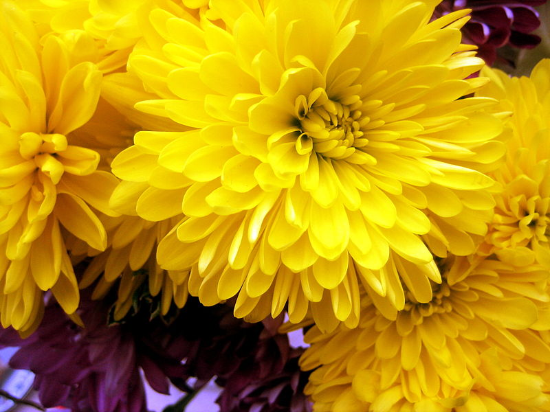 November birth flower chrysanthemum proflowers blog yellowchrysanthemums mightylinksfo