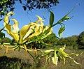Yellow Gloriosa superba (6903962671).jpg