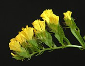 Yellow Statice flowers, close up from side.JPG