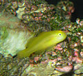 Yellow clown goby.jpg