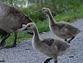 Young Canada Geese (34299065324).jpg