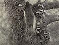 Young Sialia sialis 1904.jpg