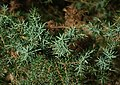 Young juniper needles.jpg