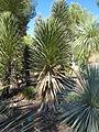 Yucca decipiens JOT.jpg