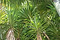 Yucca elephantipes 8zz.jpg