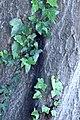 ZIMG 2665-Notholithocarpus densiflorus.jpg
