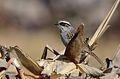 Zacatonero Rayado, Striped Sparrow, Oriturus superciliosus (12889655254).jpg