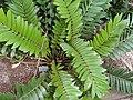 Zamia furfuracea - Copenhagen Botanical Garden - DSC07368.JPG