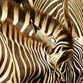 Zebra (13968755533).jpg