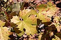Zinfandel Leaves.jpg