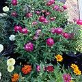 Zinnia-zahara-double-cherry-IMG 8403.jpg