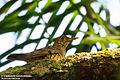 Zoothera imbricata, Sinharaja, Sri Lanka 2.jpg