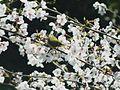 Zosterops japonicus-メジロ Japanese White-eye and Sakura DSCF5464A.jpg