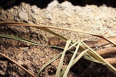 Zwergmaus (Micromys minutus) Zoo Salzburg 2014 b.jpg