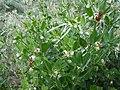 Zygophyllum fabago, SW Ukraine 2.jpg