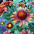 'Arizona Red Shades' gaillardia IMG 8871.jpg