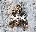 (2170) Varied Coronet (Hadena compta) - Flickr - Bennyboymothman (1).jpg
