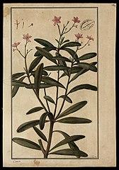 (Calinum racemosum, Linn)