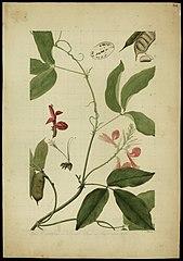 (Cymbosema rosea, Benth)