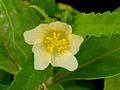 (Sida rhombifolia) flower at Safilguda.JPG