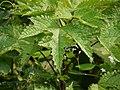 ¿ Urticaceae ? (3977563400).jpg