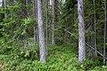 Överbo urskog-2.jpg