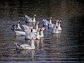 Πάπιες στη λίμνη της Καστοριάς.jpg