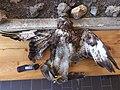 Јастреб погинуо на далеководу 03.jpg