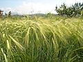 Јачмен МК 02.jpg