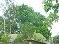 Багатовіковий дуб, Прилуцький район, м. Прилуки,вул. Гірняка,11 (напроти Боброва,35) 74-107-5003 02.jpg