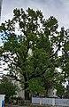 """Ботанічна памятка природи місцевого значення """"Тернопільський дуб"""" (вигляд 1).jpg"""