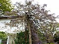 Дерево весной украсилось глицинией - panoramio.jpg