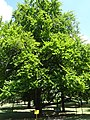 Европска буква на Калемегдану, Београд, споменик природе, 005.JPG