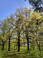 Зелень дубів.jpg