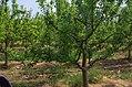 Крушови дрвја во Сирково 03.jpg