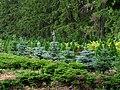 Одна из еловых коллекций Сырецкого дендропарка.jpg