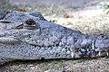 Острорылый крокодил.jpg