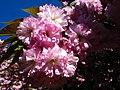 Сакури в ботанічному саду ТНУ імені В. І. Вернадського.jpg