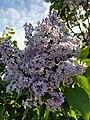 Сирень ароматное растение с нежными цветами.jpg