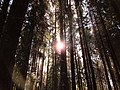 Солнце среди ельника.jpg